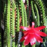 Апорокактус цветет Aporocactus
