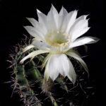 Эхинопсисы Echinopsis