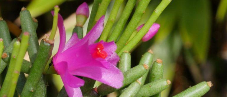 Хатиора Hatiora цветок