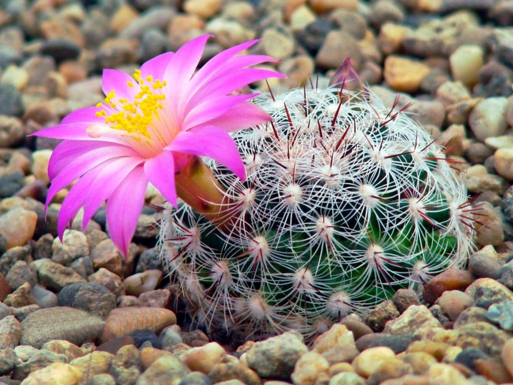 цветок маммиллярия картинка