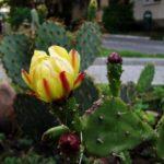 Опунция Opuntia кактус