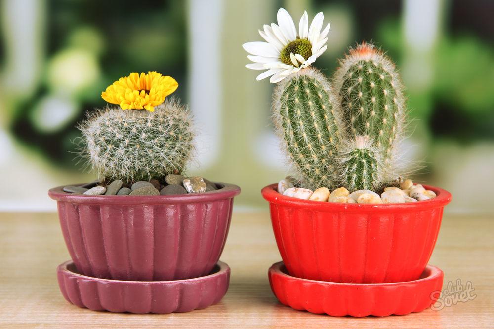 Уход за кактусами для цветения