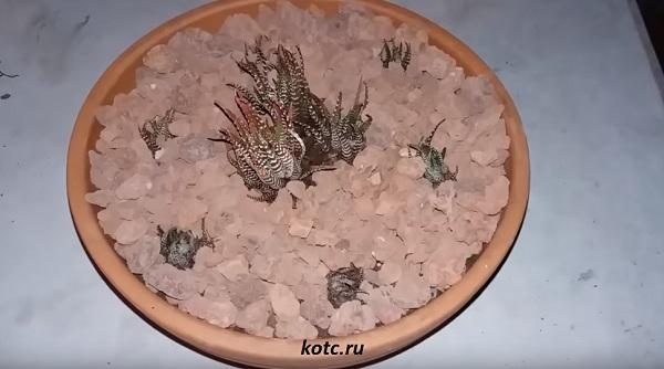 Присыпка кактуса камнями сверху