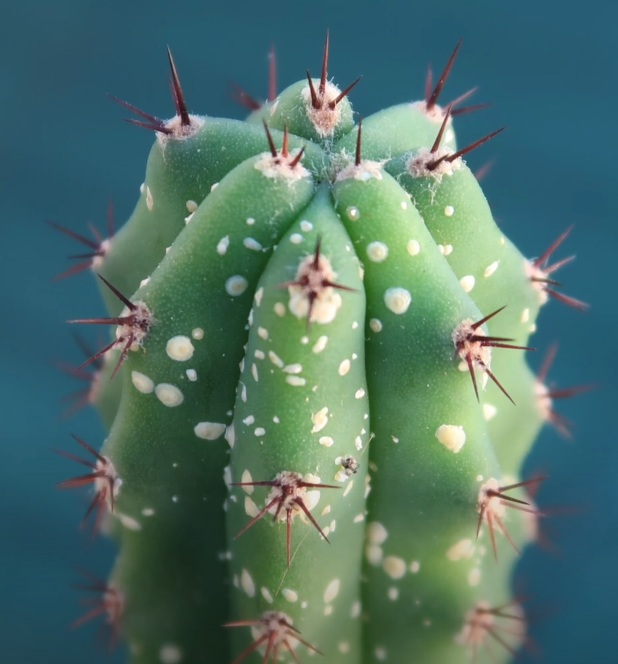 Щитовка на кактусе