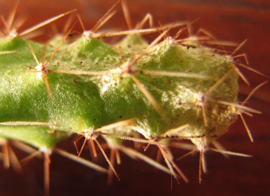 Трипсы на кактусе
