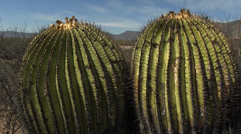 Адаптация кактусов к засухе