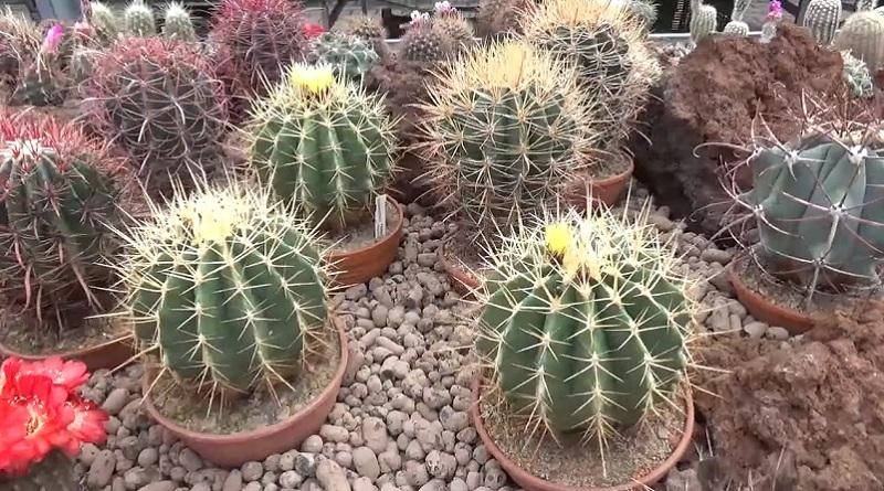 Адаптация кактусов