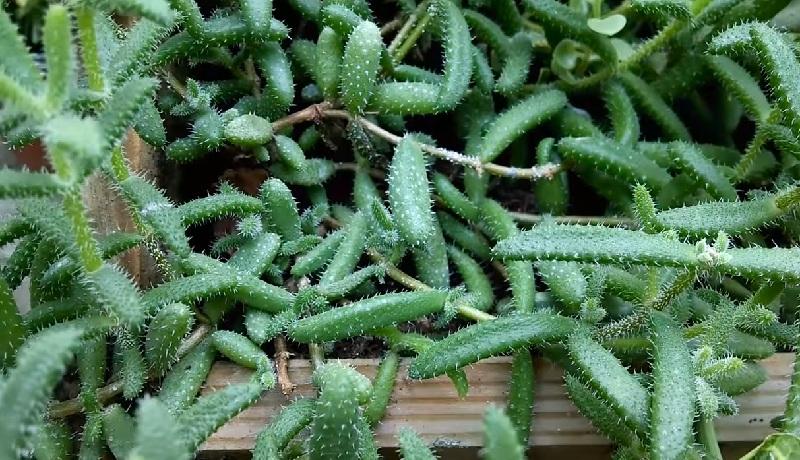 Мучнистая роса на кактусах