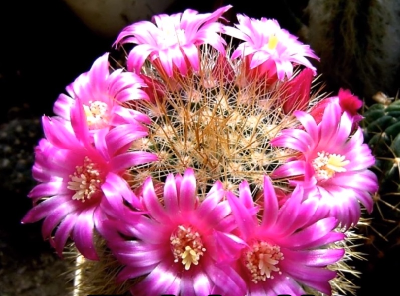 mammillaria backebergiana цветок