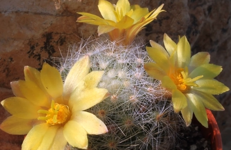 Маммиллярия Баума Mammillaria baumii