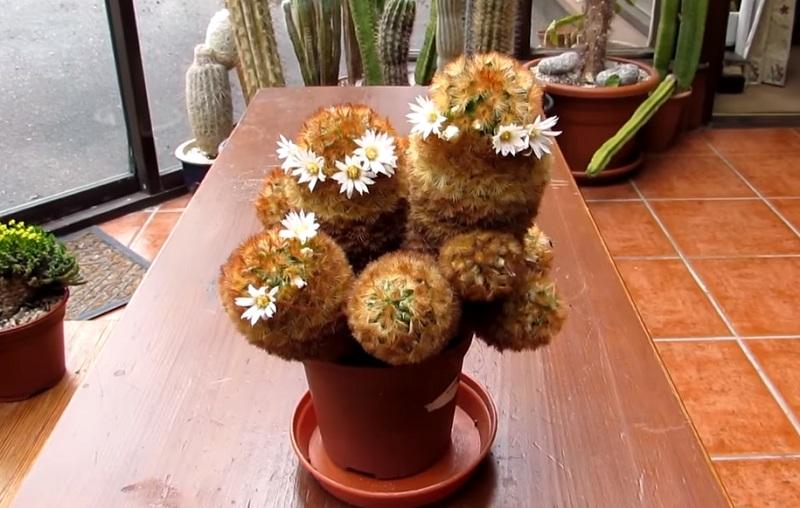 Цветы Маммиллярия Кармен Mammillaria carmenae
