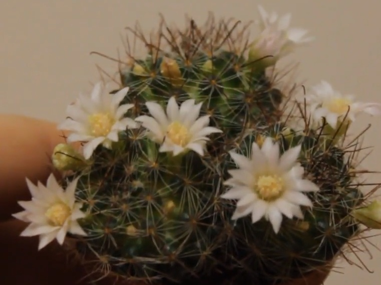 Маммиллярия Цайльманна Mammillaria zeilmanniana var albiflora