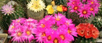 Цветы Маммиллярии