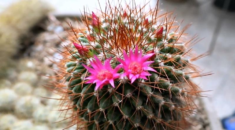 Маммиллярия Примера Mammillaria Primera цветение