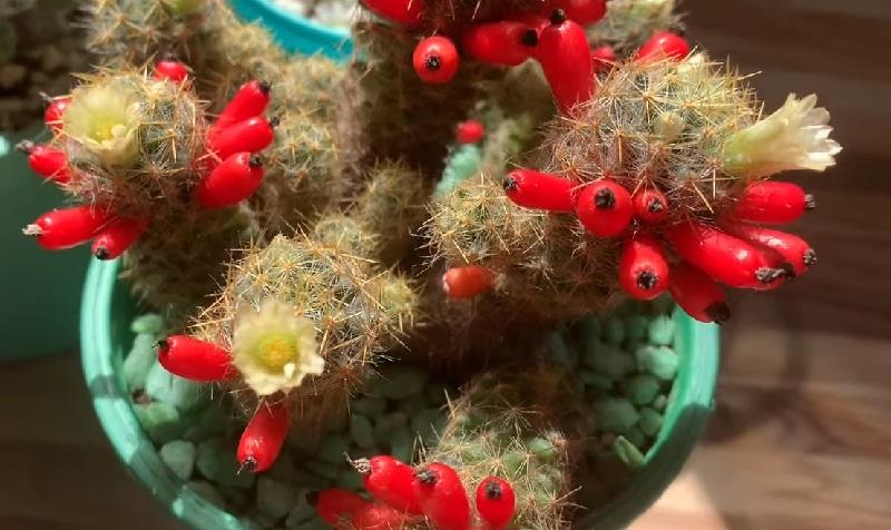 Цветы и ягоды маммиллярия пролифера