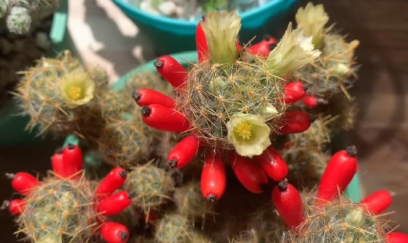 Цветы плоды маммиллярия пролифера prolifera
