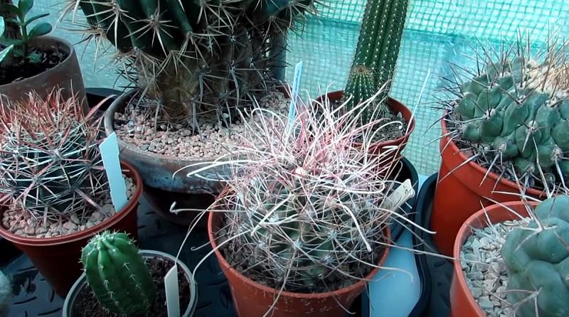 Колючки у кактуса