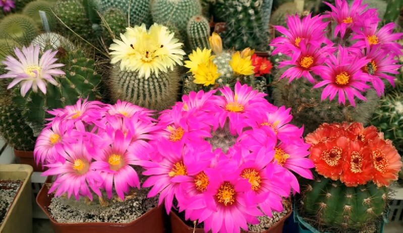 Маммиллярия цветение