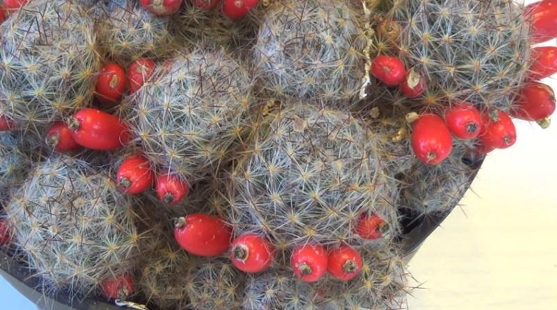Маммиллярия Пролифера (Prolifera) ягоды