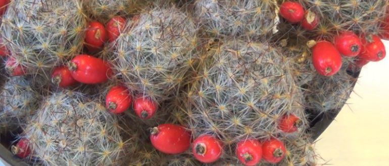 Плоды Маммиллярии