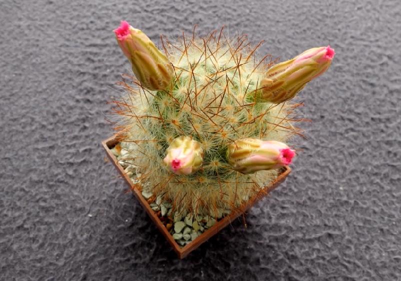 Маммиллярия Крайнца Крайнция или Гюльцова (Mammillaria guelzowiana Krainzia