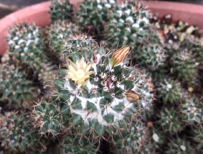 Маммиллярия Кринита Вильди Mammillaria Crinita Wildii