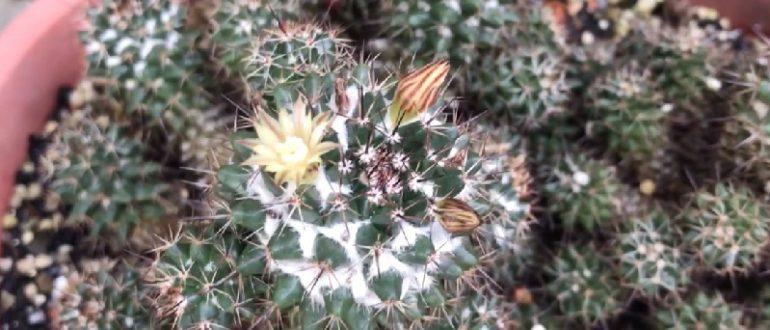 Маммиллярия Вильда Mammillaria Wildii