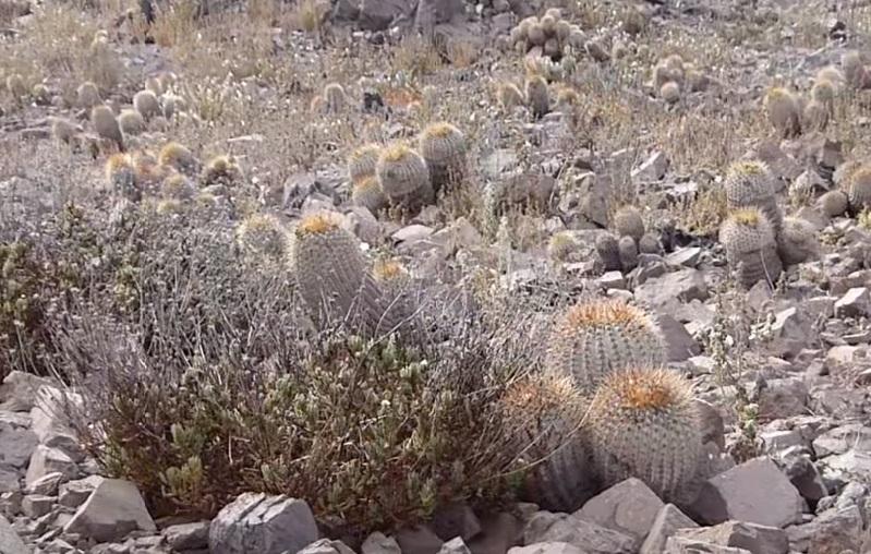 Кактусы без воды в пустыне