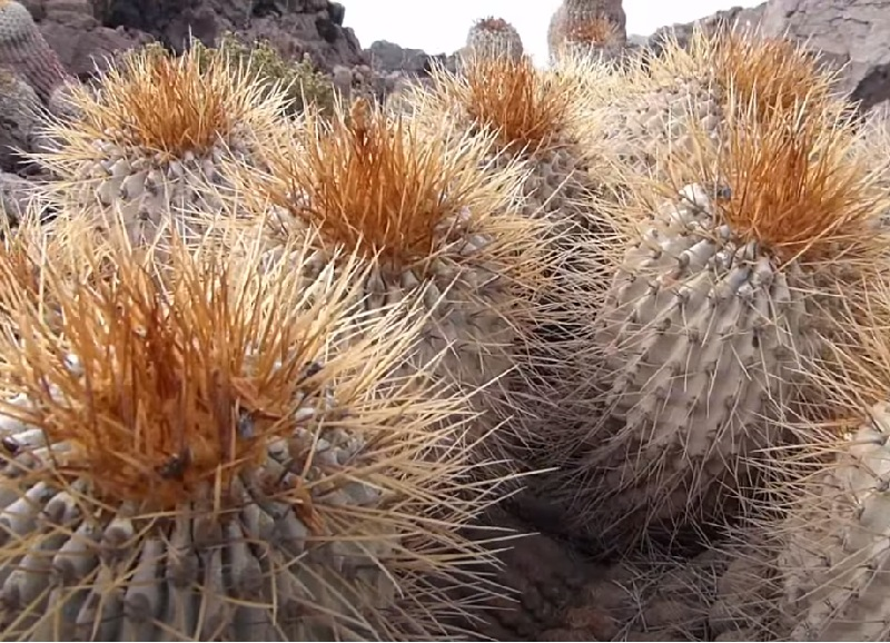 Кактус без воды в пустыне
