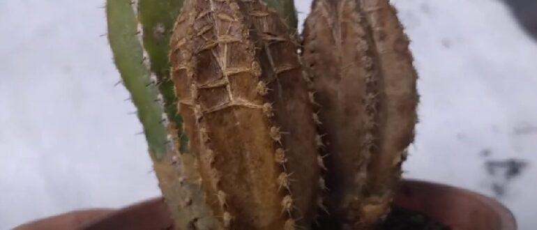 Коричневые пятна на кактусах