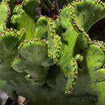 Мутации кактусов