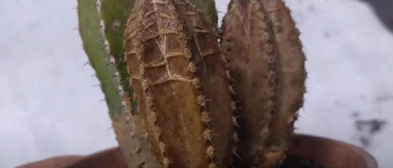 Коричневые пятна на кактусе