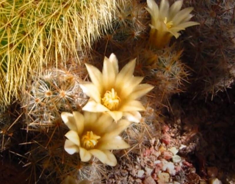 Цветы Маммиллярия Prolifera Mammillaria бутоны