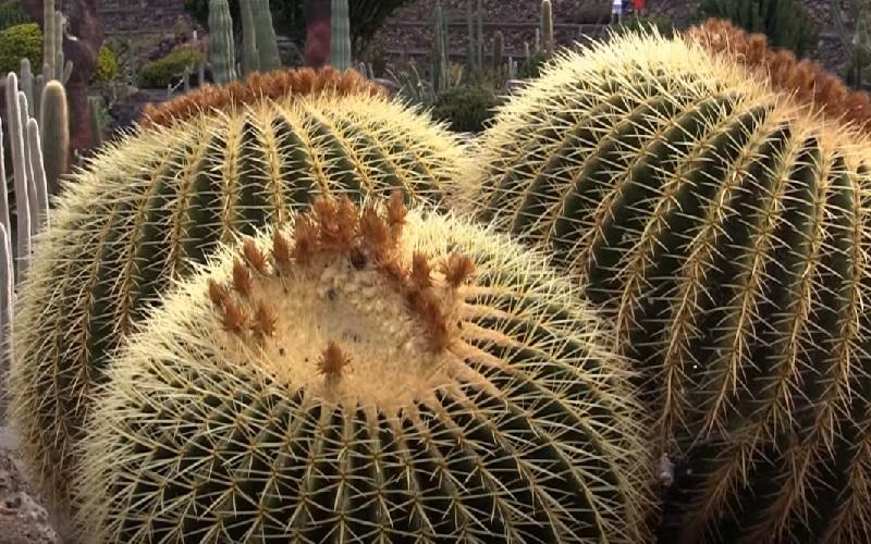 Сколько лет живут кактусы
