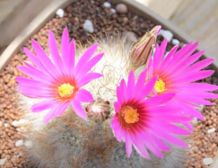 Mammillaria Guelzowiana Маммиллярия Гюльцова цветение