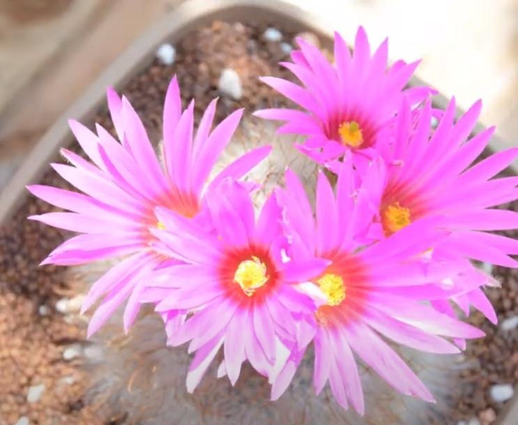 Mammillaria Guelzowiana Маммиллярия Гюльцова цветы кактус