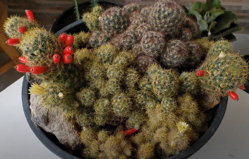 Маммиллярия Побегоносная Пролифера Mammillaria Prolifera