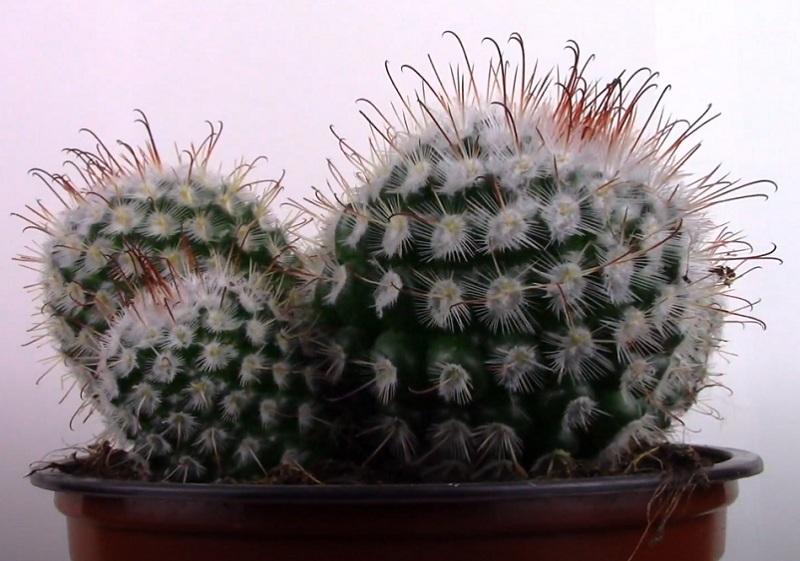 Mammillaria Bombycina Маммиллярия Бомбицина