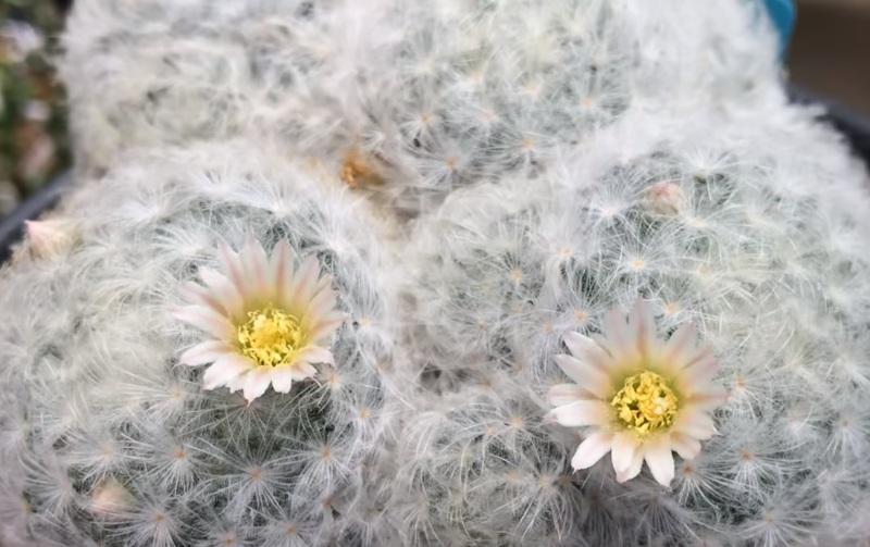 Mammillaria Plumose Маммиллярия Плюмоза