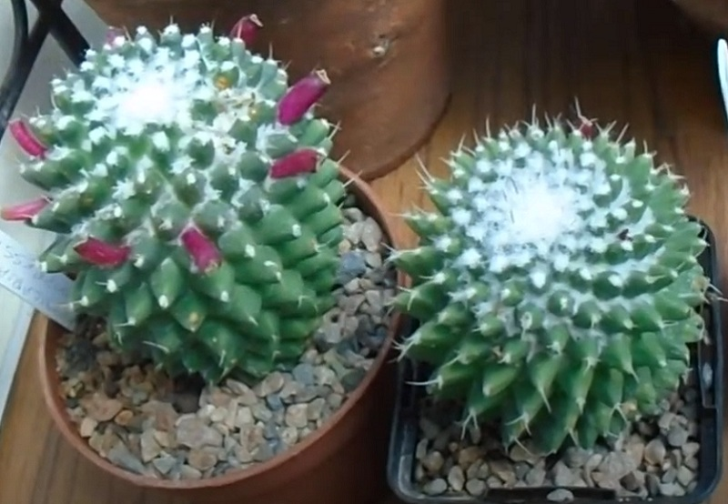 Маммиллярия Полители (Mammillaria Polythele)