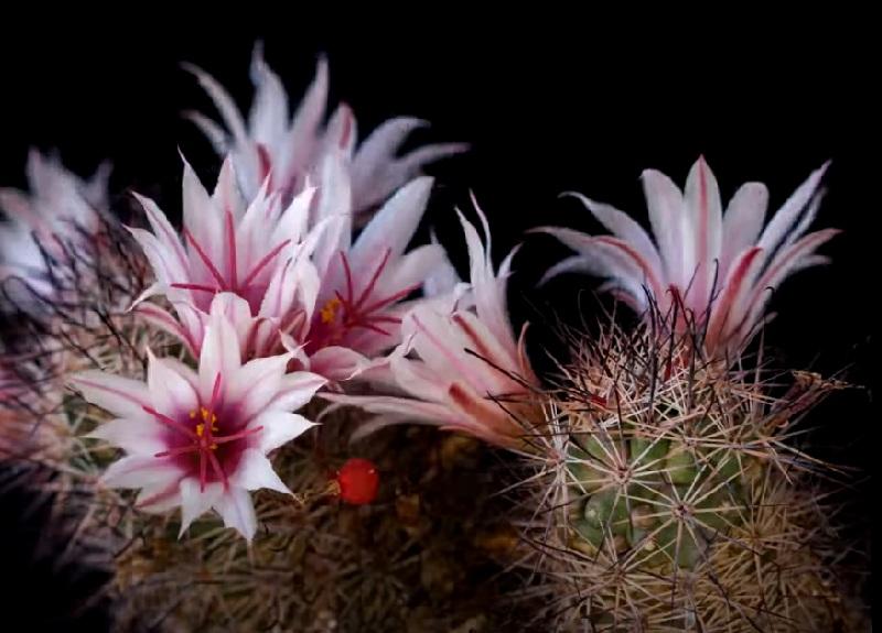 Маммиллярия Беловатая Mammillaria Albicans